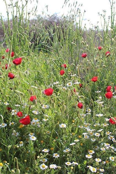 פריחה בשדה בוקר - צימר קריבין
