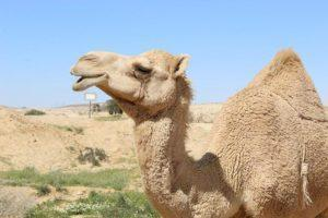 Camel in the Negev - Krivine Guesthouse